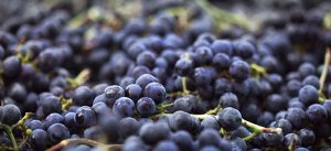Resveratrol: Polyphenol a powerful epigenetic influencer and antioxidant.