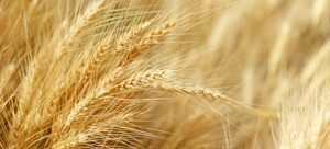 Gut Issues – Wheat Gluten or Glyphosate